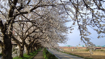 桜の季節 2012