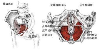 骨盤と骨盤底筋