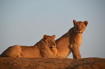 Löwen-Familie bei Sonnenaufgang: Zum Greifen nahe...