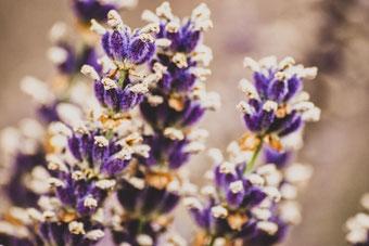 Makrofotografie – Lavendel