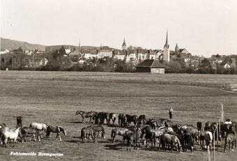 Freiberger-Herde um 1958