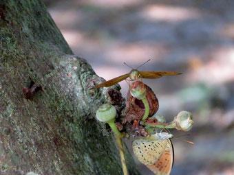 Tanaecia jahnu ♂(上) T.julii ♂(下)