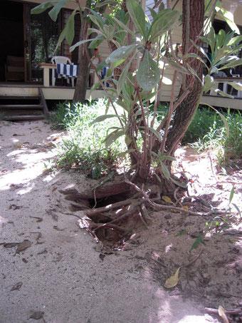 木の根元に掘られた巣穴