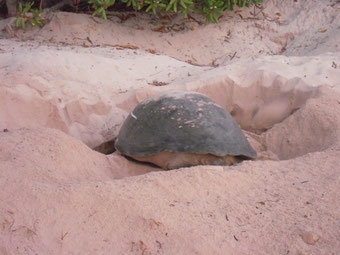 産卵を終えて卵に砂をかけるウミガメ