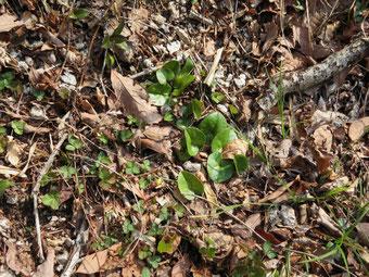 ヒメカンアオイの新葉は開いている。