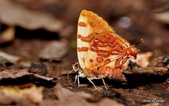 偶然見つけたS.masaeaeの生態写真。