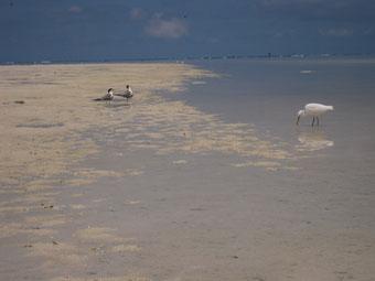 干潮時に浅瀬で採餌するサギ