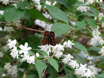 逆立ちして吸蜜するサカハチチョウ。