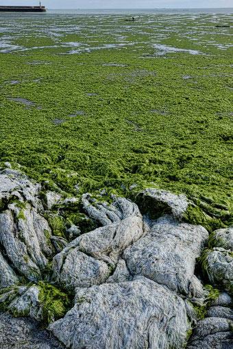 Mathieu Guillochon, photographe, rivages, couleurs, mer, côtes d'armor, bretagne, Binic, plage de la Banche, algues vertes, marée basse, été..