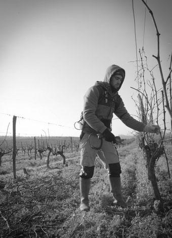 François à la taille des vignes sur la ferme bio lebiojycrois.fr