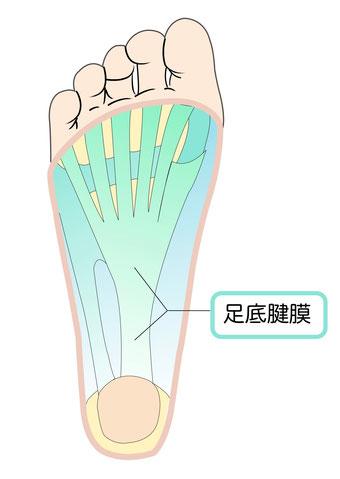 足底筋膜解剖