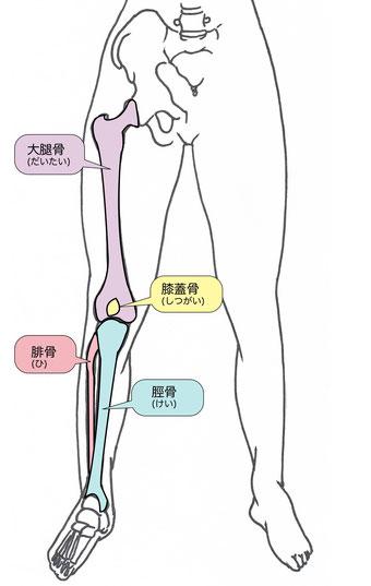 膝関節構造