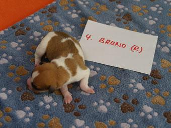 Rüde Bruno