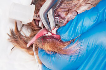 Vétérinaire en train d'extraire une dent d'un chien