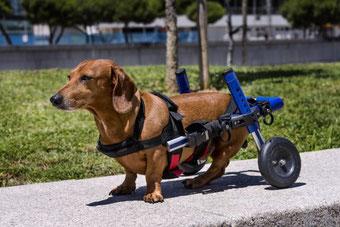 Rééducation d'un chien à l'aide d'un charriot