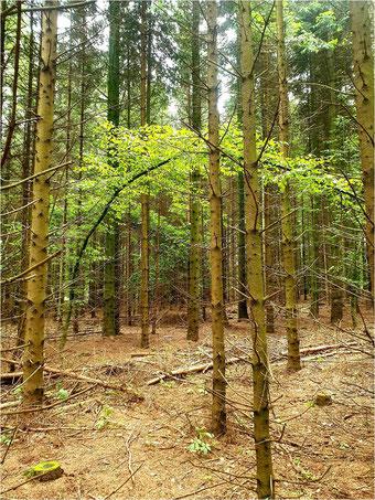 Laubbäume habes es bis jetzt schwer im Koseler Gemeindewald.