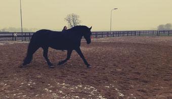 longeerles, longeren zonder hulpteugels, Fries paard, longe