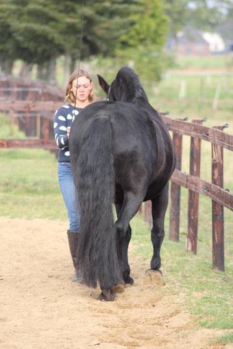 Grondwerkles, rechtrichten, Friese paarden, academische rijkunst