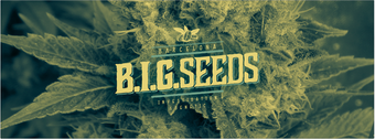 big seeds, semillas marihuana big