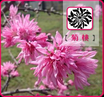 菊桃【踊り子】 @Base N 和×夢 nagomu farm