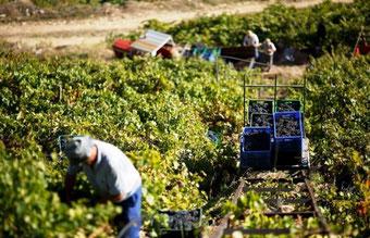 D.O.リベイラ・サクラ2013年の収穫ベリー・グッドの見込み (www.vinetur.com)