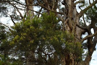 Tea-Tree - Melaleuca alternifolia - by Dustaway
