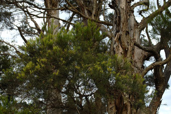 Tea-Tree - Melaleuca alternifolia - by Dustaway