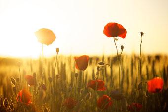 Rote Mohnblumen, durch die die Sonne scheint