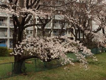 ☆桜の下が仙川の源流。コンクリートで固められて大きな側溝。水も流れていません。