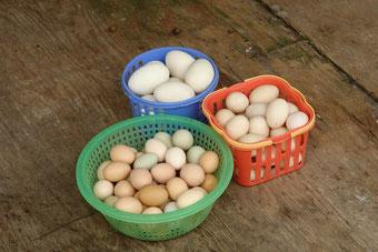 So viele verschiedene Eier. Die großen sind übrigens Enten-Eier.