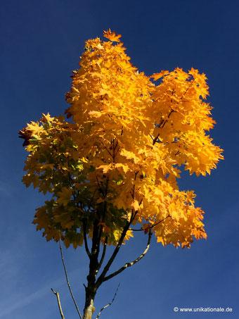 Kleiner Ahornbaum im Herbst