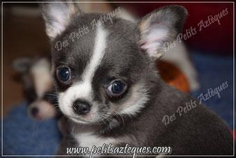 le plus petit chien du monde race