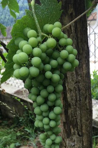 Grappolo uva Pecorina