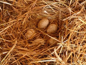 Bisher liegen im ersten Nest fünf Eier. Sobald die Gänse zehn zusammen haben, beginnen sie die Brut.