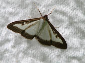 Papillon - Pyrale du buis