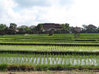 Campi di riso nella zona nord di Canggu (Photo by: Gabriele Ferrando)