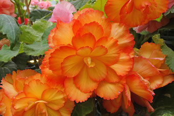 Begonias in the Blowes Conservatory, Orange,NSW