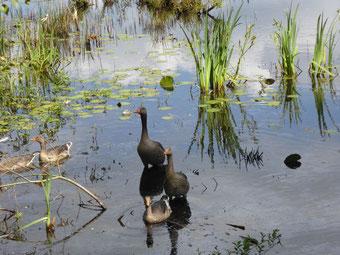 Zwei Gänse mit einem Gänseküken und zwei Enten auf einem See mit Schilf im Hintergrund