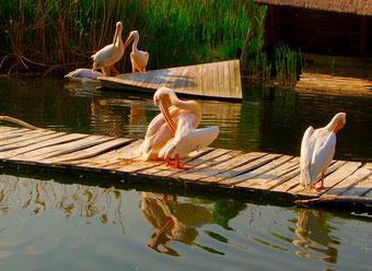 Pelikane beim Reinigen ihres Gefieders