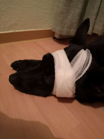 Blutegel Therapie Hundephysiotherapie Verband