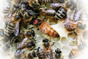 Bienen, Bienenkönigin, Elgonkönigin, Imkerei Rieger, Imkerei, Buckfast, Buckfastkönigin, Otting, Rudelstetten, Bienenkönigin kaufen, Elgonkönigin kaufen, Varroatoleranz, Varroatolerant, VSH, Zuchtkönigin, Königinnenzucht,