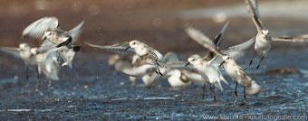 auffliegende diesjährige Sanderlinge