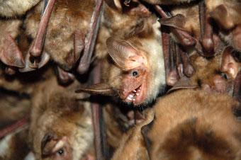 Klimawandel Insektensterben Fledermaus Fledermäuse Arbeitskreis Fledermausschutz NABU Düren