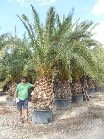 palmier gros tronc