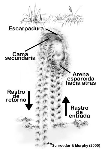 Representación de nido exitoso de tortuga boba
