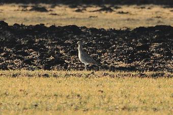 Großer Brachvogel Männchen (Foto: Joachim Aschenbrenner)