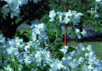 Blüten, Blumen, Garten