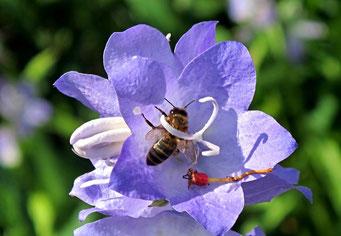 Biene, Honig, Blume