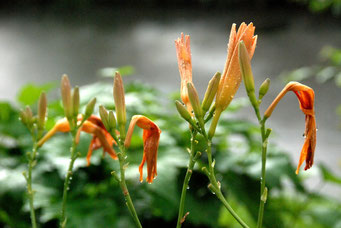 Blumen, welk, Regentropfen
