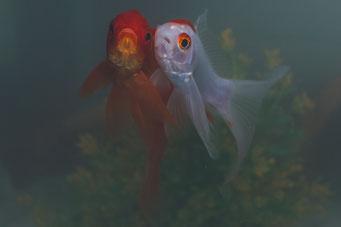Schleierschwanz-Goldfische